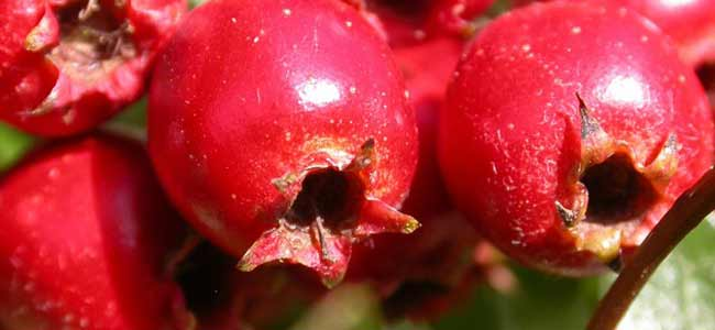 hawtorn-berry